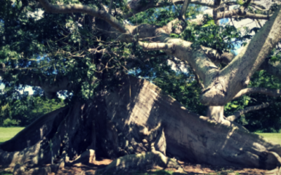 The Heart and Message of The Vieques Ceiba Tree